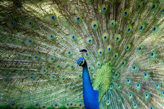 彼の展覧会の間にすばらしい孔雀