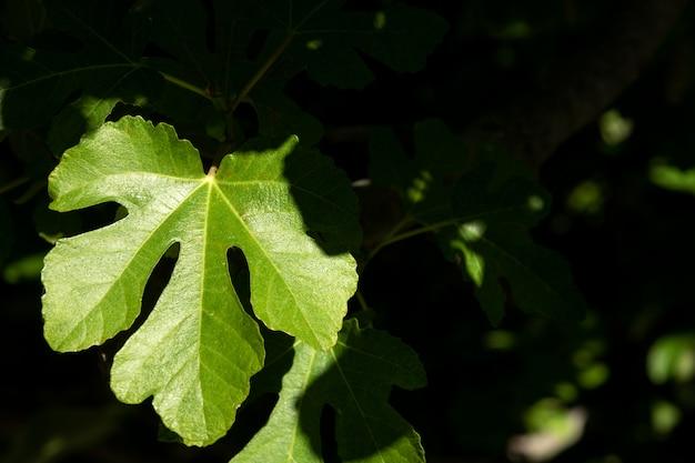 日当たりの良い緑のイチジクの葉