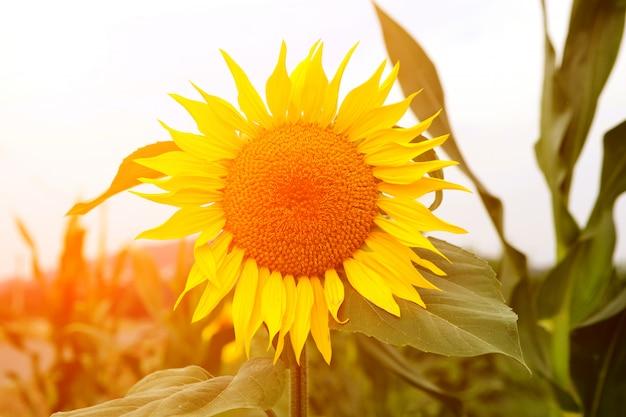 明るい黄色と閉じる美しいひまわり