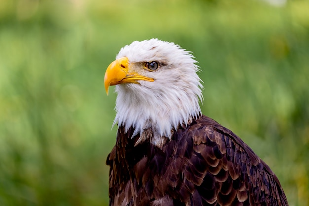 Портрет белоголового орлана в природе