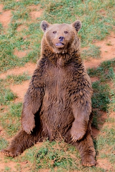 美しい茶色のスペインのクマ