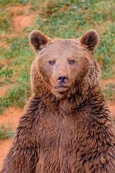 茶色のスペインのクマの肖像画