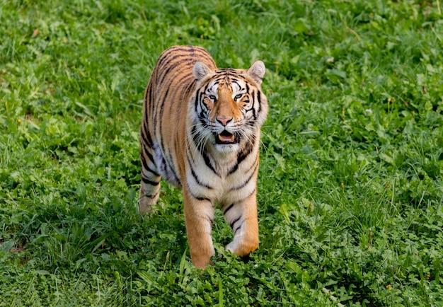 Удивительный тигр