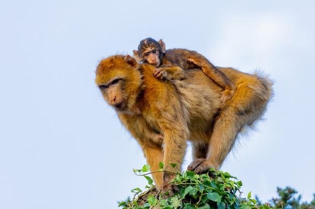 Мама обезьяна с сыном