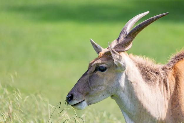 Большая мужская антилопа канна