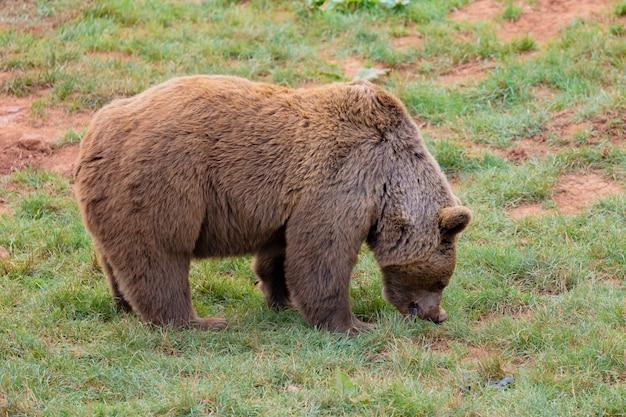 素晴らしい茶色の雄熊