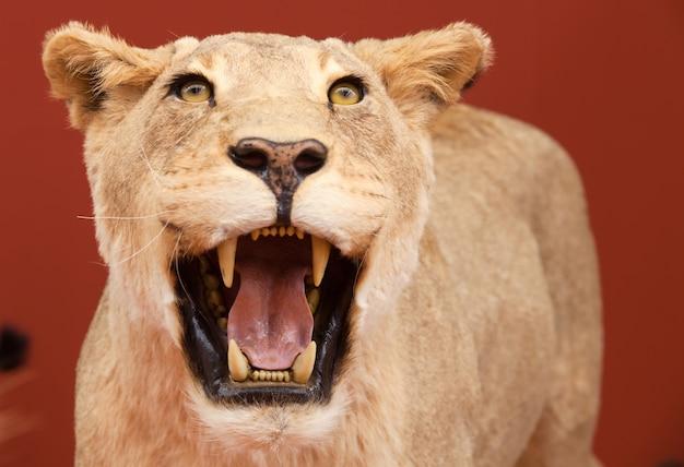 赤い背景の詰まったライオンの積極的な表現
