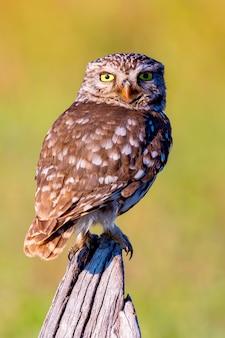 Милая сова, маленькая птичка с большими глазами