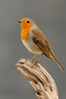 素敵な赤い羽を持つかわいい鳥