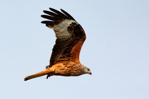 Удивительная хищная птица в полете