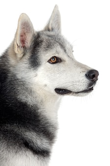 白い背景の上の愛らしい犬