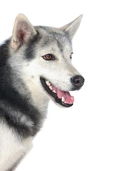 白い背景の上に愛らしいシベリアン犬