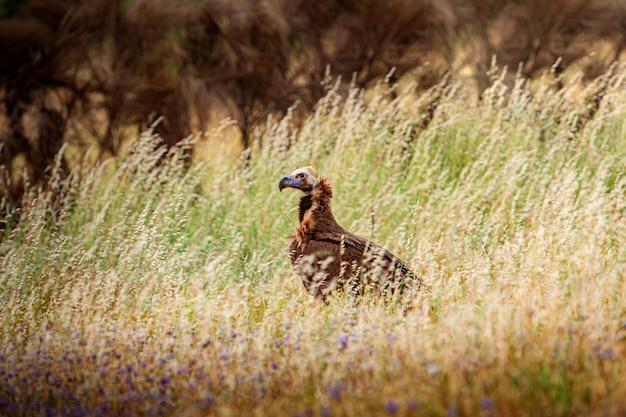 Дикий гриф в природе