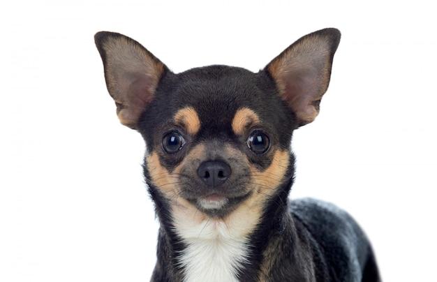 Смешной черный чихуахуа с большими ушами