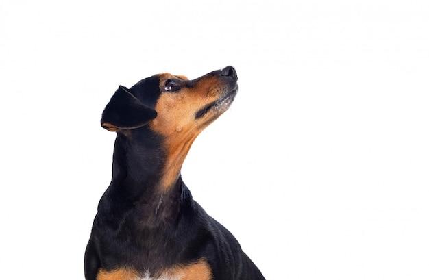 Маленькая тонкая собака
