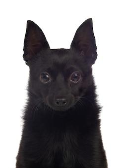 Черная собачья смесь чихуахуа и померанской расы