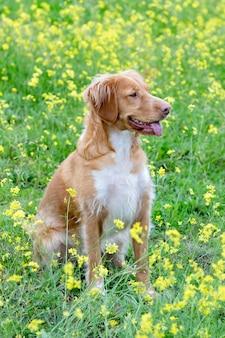 牧草地で美しい茶色のブルトン犬