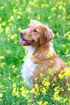 Красивая коричневая бретонская собака на лугу
