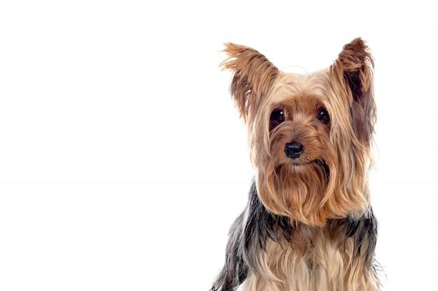 面白い小さなヨークシャー犬