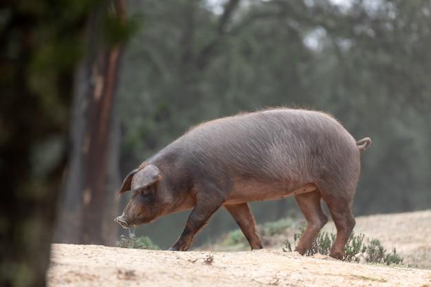 Иберийская свинья пасется