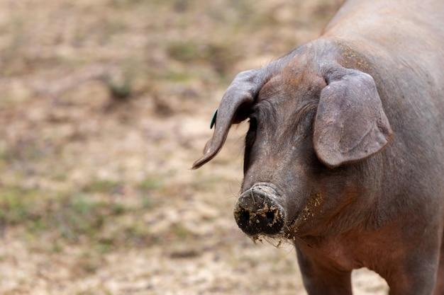 イベリア豚放牧