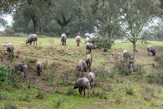 Выпас иберийских свиней