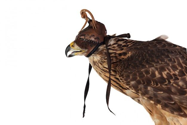 Азор в маске сокольника