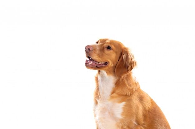 美しい茶色のブルトン犬
