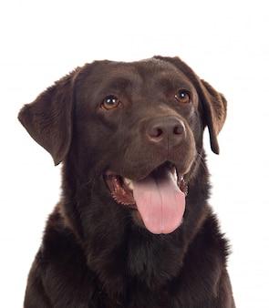 美しいブラックゴールデンレトリーバー犬