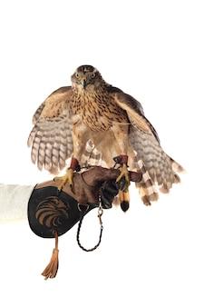 Красивая птица ястреб-тетеревятник