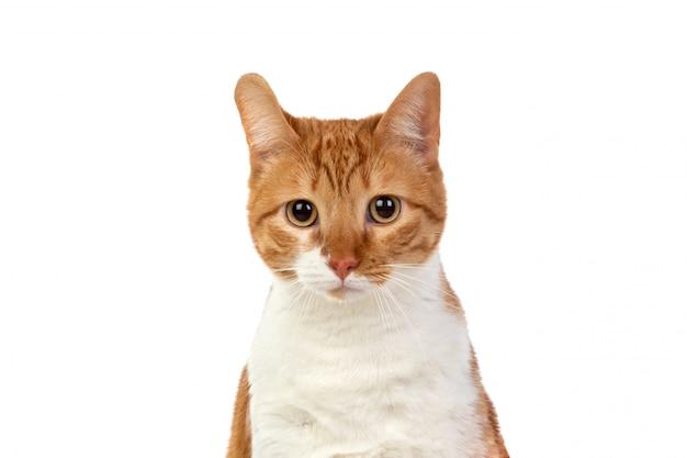 大人の茶色と白猫
