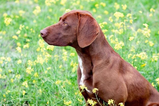美しい茶色のジャーマンショートヘアブラコ