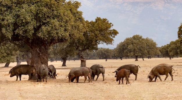 オーク材の中で放牧されているイベリアの豚