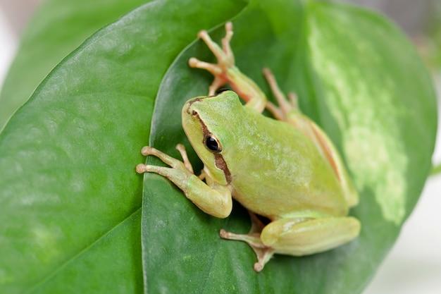 膨らんでいる目がゴールデンの緑のカエル