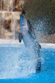 Смешной дельфин прыгает во время шоу в зоопарке