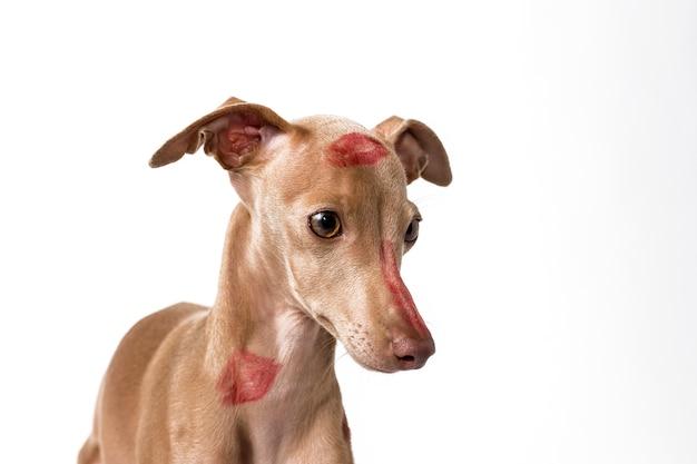赤い唇のキスマークを持つイタリアのグレイハウンド犬