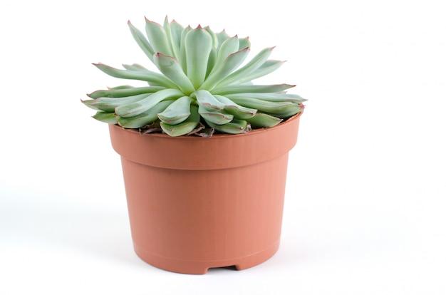 Горшок с изолированными суккулентными растениями