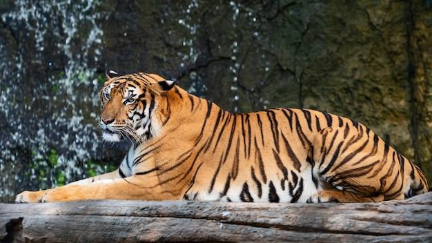 Портрет тигра.