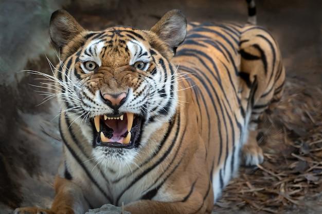 虎の肖像画。