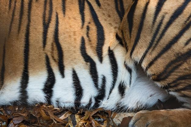 Текстура кожи тигра.