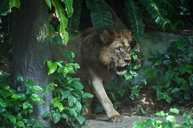 Лев сосредоточен на чем-то серьезно.