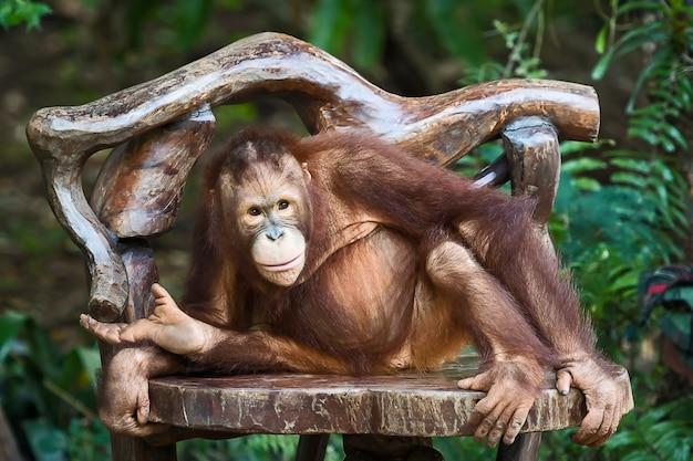 チンパンジーを閉じます。