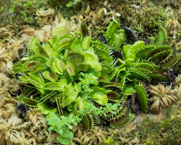 金星ハエトラップ植物。
