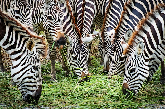 Закройте деталь голова зебры многие зебры едят траву.