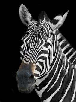 Закройте деталь головы зебры.