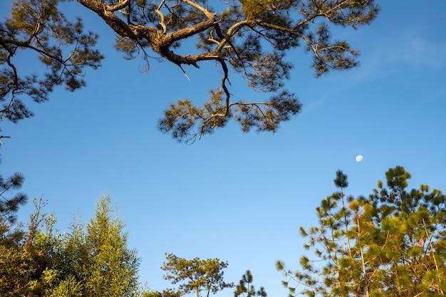 朝の月と松の枝