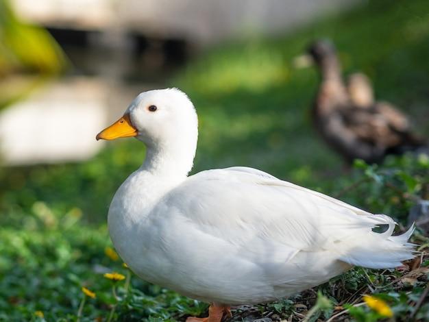 芝生のフィールドで白いアヒルを閉じます。動物のコンセプト