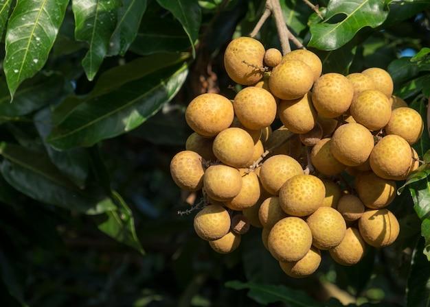トロピカルフルーツの若いリュウガン