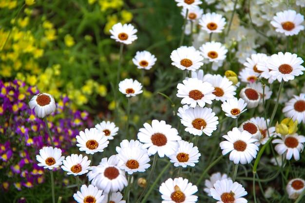 白いデイジーの花と庭の他の花