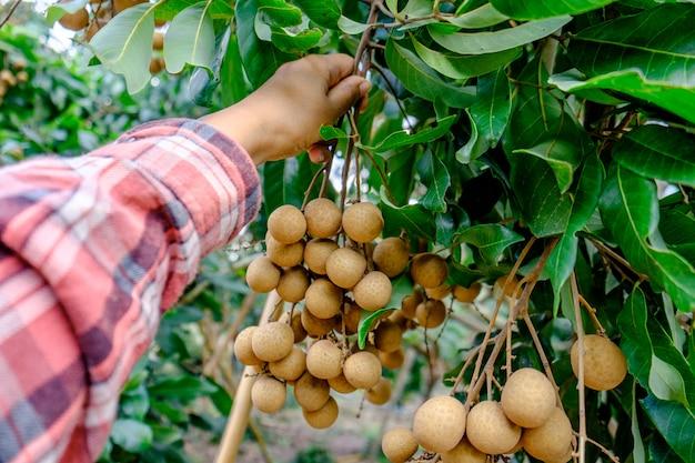 果樹園でリュウガンを保持しているリュウガン農家